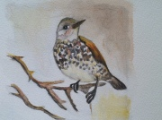"Dusky Thrush. Watercolor on Paper. Image size 5""x5"". Matted. For Sale $50"